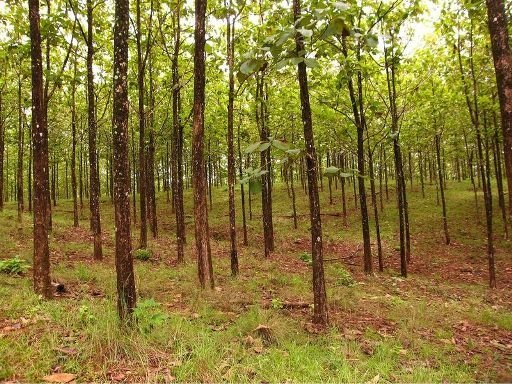 Teak Wood 101 The Basics In Costa Rica Costa Rica Real